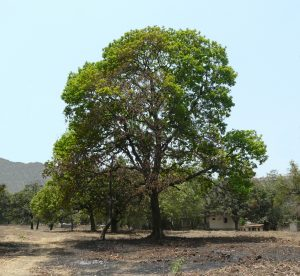 Read more about the article मोह (Mahua)