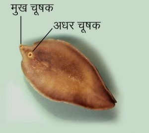 Read more about the article यकृत पर्णकृमी (Liver fluke)