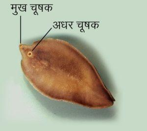यकृत पर्णकृमी (Liver fluke)
