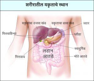 यकृत (Liver)