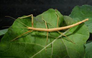 यष्टी कीटक (Stick insect)