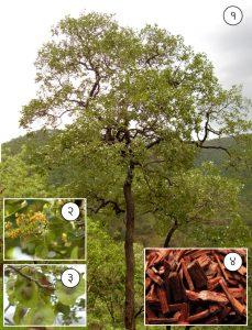 रक्तचंदन (Red sandalwood)