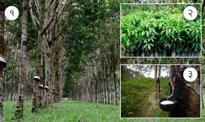 रबर वृक्ष ( Rubber tree)