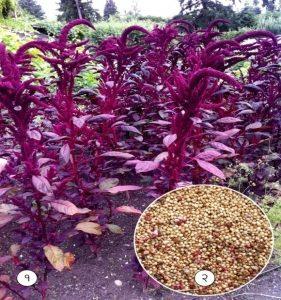राजगिरा (Red amaranth)