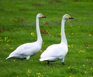 राजहंस (Swan)