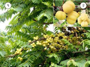 रायआवळा (Star gooseberry)