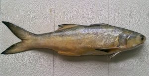 रावस (Indian salmon)