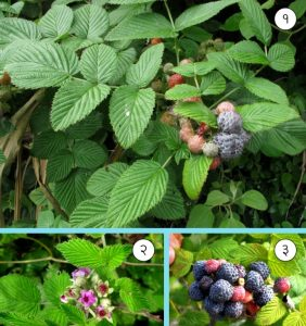 रासबेरी (Mysore raspberry)