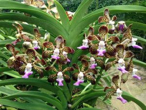 Read more about the article रास्ना (Vanda)