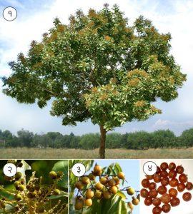 रिठा (Soapnut tree)