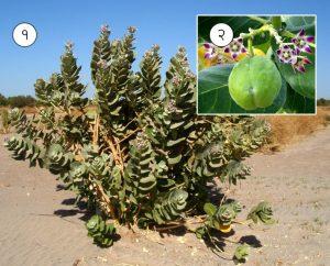 रुई (Giant milkweed)
