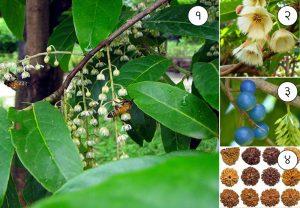 रुद्राक्ष (Utrasum bead tree)
