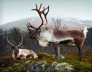 रेनडियर (Reindeer)