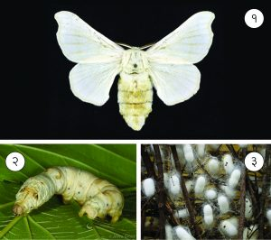 रेशीम कीटक (Silkworm)