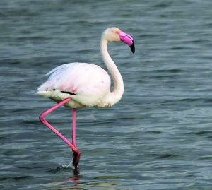 रोहित (Flamingo)