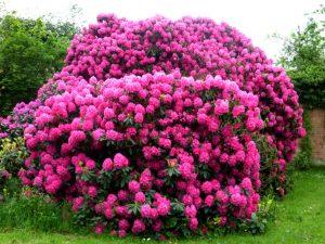 ऱ्होडोडेंड्रॉन (Rhododendron)