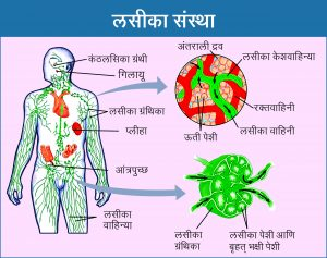 लसीका संस्था (Lymphatic system)