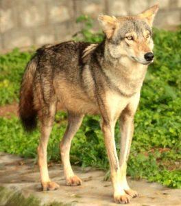 लांडगा (Wolf)