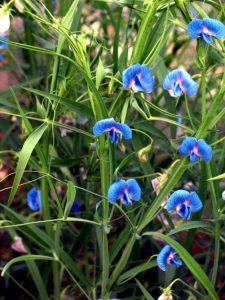 लाख वनस्पती (Grass pea)