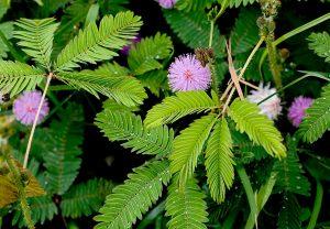 लाजाळू (Sensitive plant)