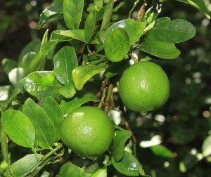 लिंबू (Lime)