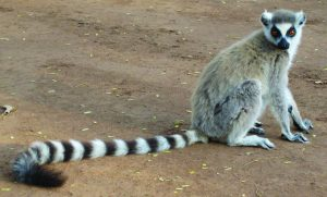 Read more about the article लेमूर (Lemur)
