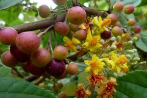 Read more about the article फालसा (Phalsa)