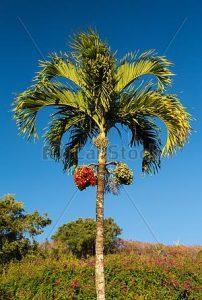 पोफळी (Areca nut tree)