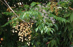 बकाणा निंब (Bead tree)