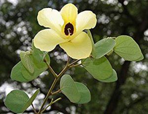 पिवळा कांचन (Yellow orchid tree)