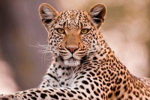बिबळ्या (Leopard)