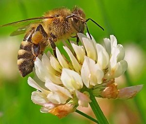 मधमाशी (Honey bee)