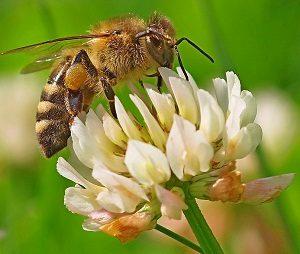 मधमाशी (Honey bee)