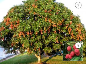 Read more about the article लिची (Lychee)