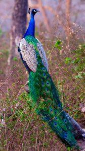 नायगाव मयूर अभयारण्य (Nayagaon Mayur Wildlife Sanctuary)