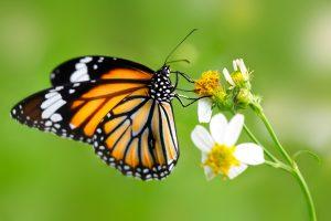 फुलपाखरू (Butterfly)