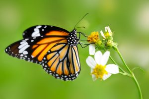 Read more about the article फुलपाखरू (Butterfly)