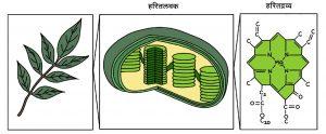हरितद्रव्य(Chlorophyll)