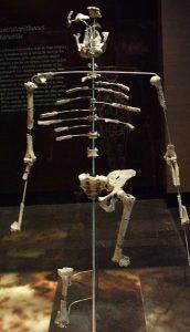 ऑस्ट्रॅलोपिथेकस अफारेन्सिस (Australopithecus afarensis)