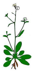 अराबिडॉप्सीस थॅलियाना (Arabidopsis Thaliana)