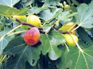 अंजीर (Common fig)