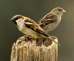 चिमणी (House Sparrow)