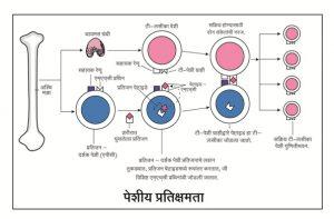 प्रतिक्षम संस्था (Immune System)
