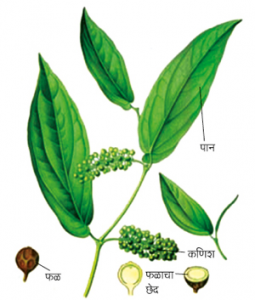 Read more about the article कंकोळ (Cubeb)