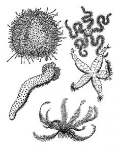 Read more about the article कंटकचर्मी (Echinodermata)