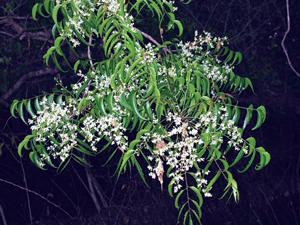 कडूलिंब (Margosa)