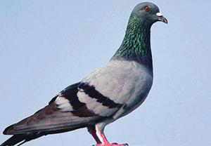 कबूतर (Pigeon)