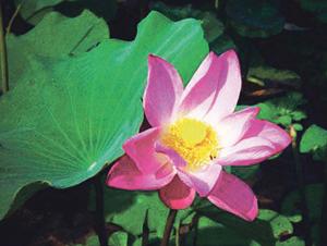 कमळ ( Indian Lotus )