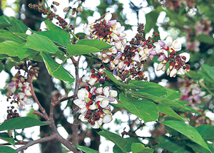 Read more about the article करंज (Indian beech)