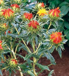 Read more about the article करडई (Safflower)